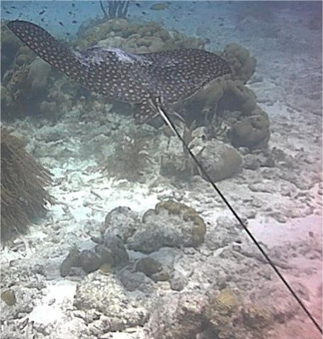 A nice Ray in Bonaire